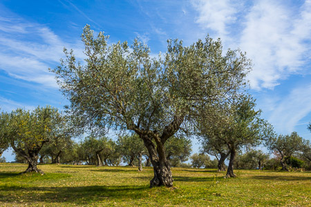 Flor Y Sabor - Adopteer een olijfboom