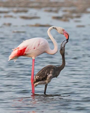 Flamingo met jong - Aigues-Mortes